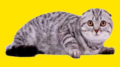 Шотландские кошки: все за и  за