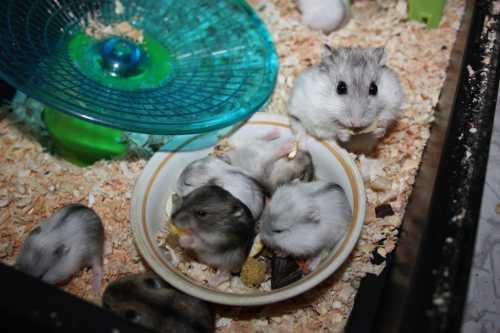 Чем кормить джунгарского хомяка в домашних условиях