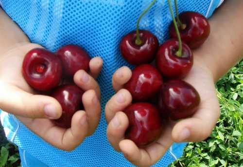 Лучшие сорта вишни: как выбрать вишню для средней