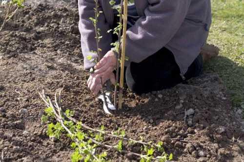 Как вырастить смородину, выбираем посадочный