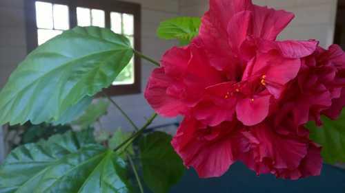 Китайская роза: уход в домашних условиях фото: