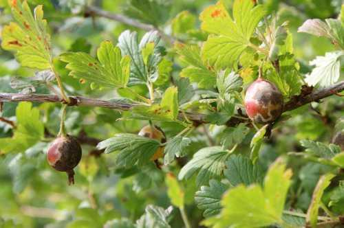 Нарушение агротехники выращивания чревато неприятными последствиями, включая скручивание корней вниз