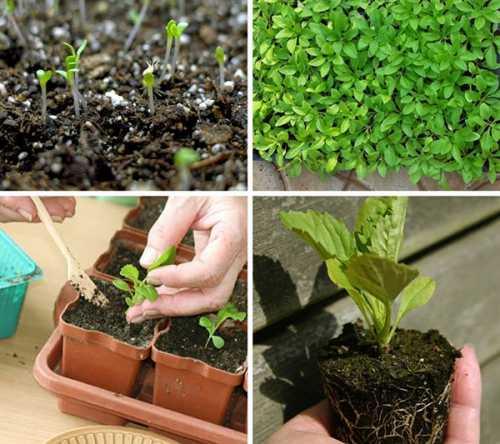 Астры: посев на рассаду, посадка, выращивание,
