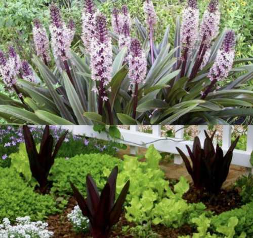 Посадка эукомиса: выращивание, технология