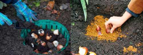 При выращивании крокусов в горшке от растения с размером луковицы можно ожидать одиночный цветок, с размером цветка, с размером цветка