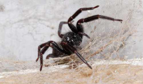 К чему снится чёрный паук, что паук нападает или