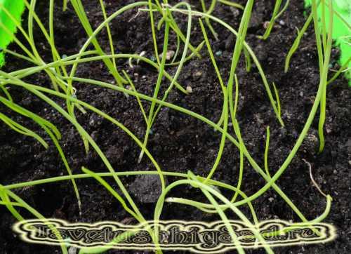 Когда сеять лук Эксибишен на рассаду: правильная