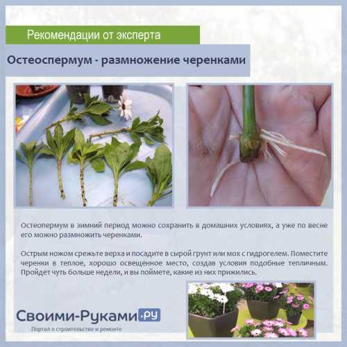 Остеоспермум: выращивание из семян и черенков,