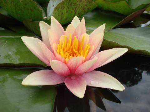 Водяная лилия кувшинка
